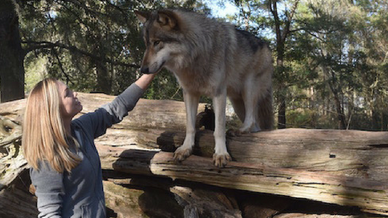 Meeting wolves face to face in Chipley, Florida